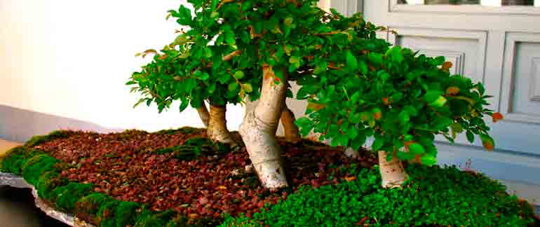 Different Types Of Bonsai Trees Species